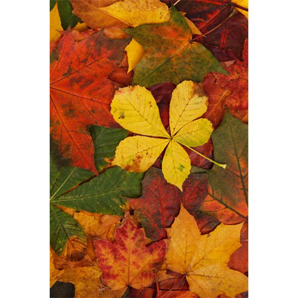 The Colors of Fall: Why do Leaves Change Colors in Autumn?