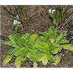 The salt-tolerating plant Samolus valerandi (ssp. valerandi) in stage of flowering.