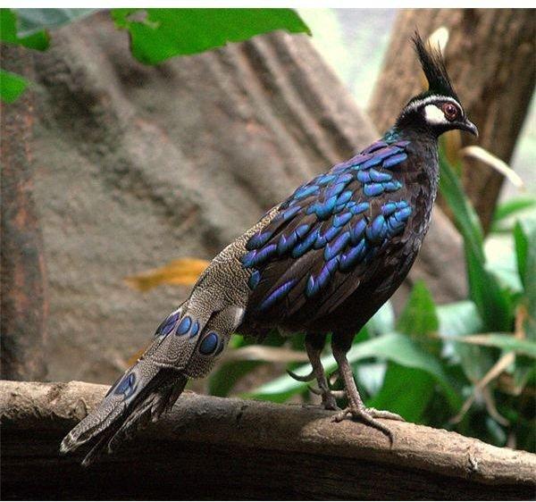 652px-Palawan Peacock Pheasant - male