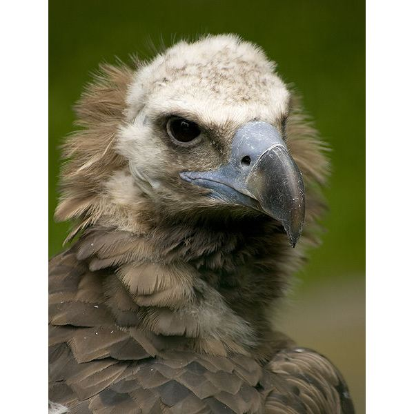 Eurasian black vulture picture