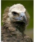 Eurasian black vulture picture