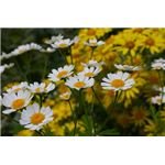 Chamomile Has Benefits for Skin Care