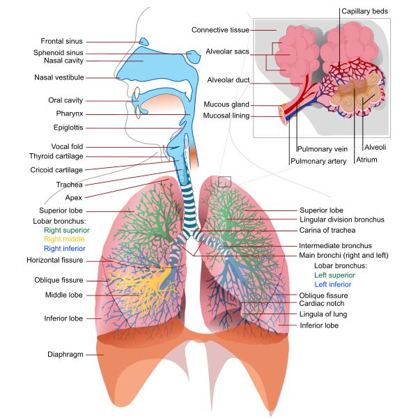 Fun Respiratory System Facts: Learn How Your Body System Works and What it Does