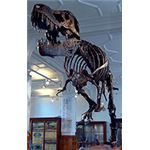 http://commons.wikimedia.org/wiki/File:Stan_the_Trex_at_Manchester_Museum.jpg