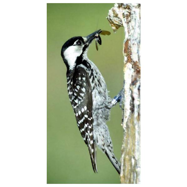 Red-cockaded woodpecker. (Picoides borealis). (Photo: US Marine Corps.)