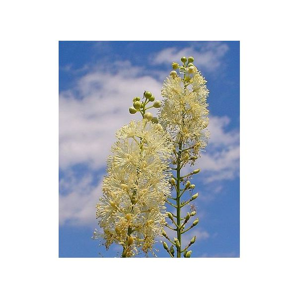 Saw Palmetto and Black Cohosh for Female Health