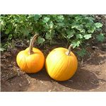 Middle School Pumpkin Patch IMAGE 2 copy