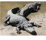 Adult Alligators