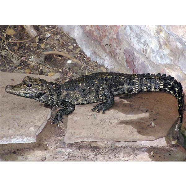 All About the West African Dwarf Crocodile