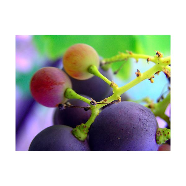 Benefits of Grape Seed Extract as a Nutritional Supplement