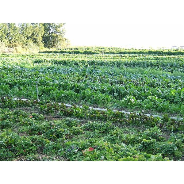 800px-Organic-vegetable-cultivation