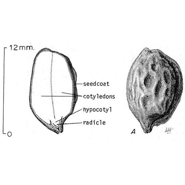 Jojoba Seed Diagram