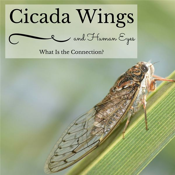 Cicada Wings and Human Eyes: What Is the Connection?