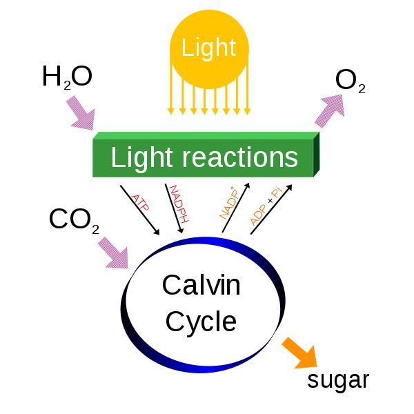 Explaining the carbon cycle with diagrams and a free student worksheet photosynthesis overview from wiki commons by daniel mayer ccuart Image collections