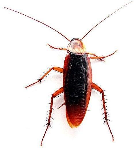Cockroach - Image Credit: Joăo Estęvăo A. de Freitas; https://commons.wikimedia.org/wiki/File:Cockroach_closeup.jpg