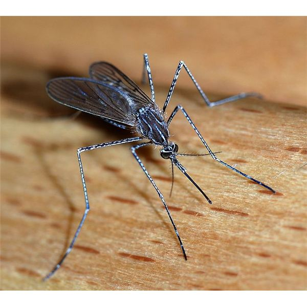 A female mosquito of the Culicidae family