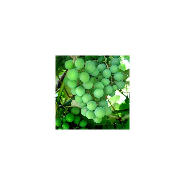 Are Grapes Healthy? The History & Nutritional Value of Grapes