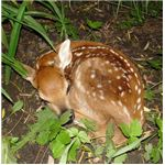 Young White Tailed Deer (Fawn)