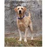 A Labrador Retriever - image released under GNU Free Documentation License, Version 1.2