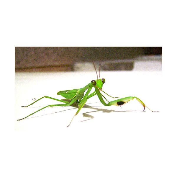 Praying Mantis Preschool Theme Art And Craft Ideas Brighthub