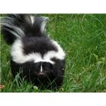 Skunks Use Defensive Spraying to Avoid Conflict.