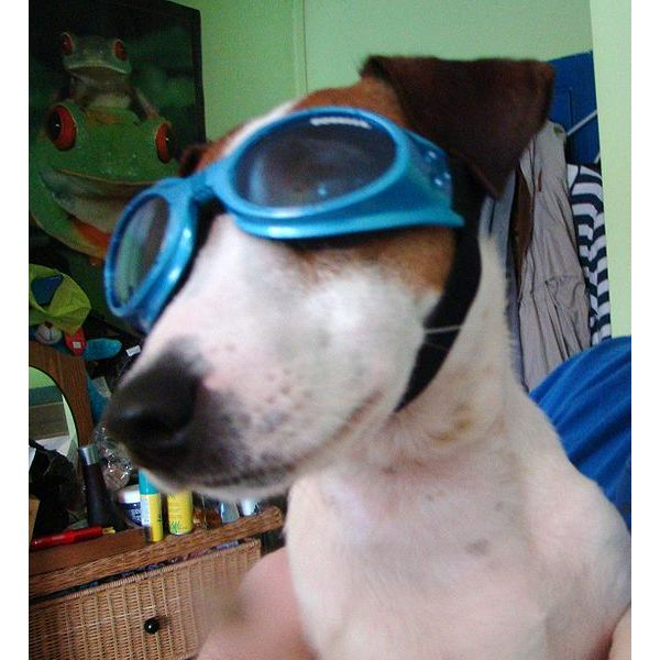 A Dog Wearing Doggles