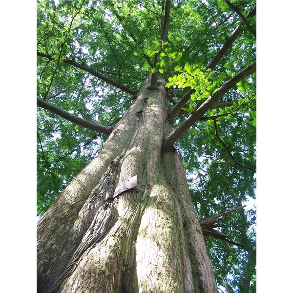Dawn Redwood - Rediscovery of an Ancient Tree