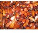 Araucaria Seeds
