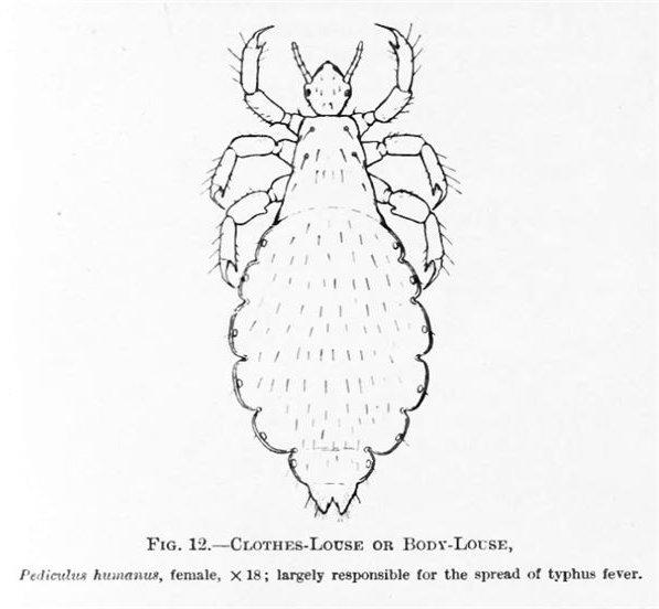 PediculusHumanus - image in the public domain