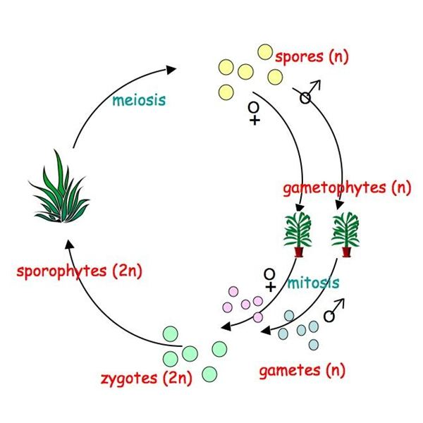 Plant genetics an introduction to the life cycle of plants plant genetics alternation of generations diagram ccuart Gallery