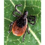 Adult deer tick - Photo by Scott Bauer - image in the public domain