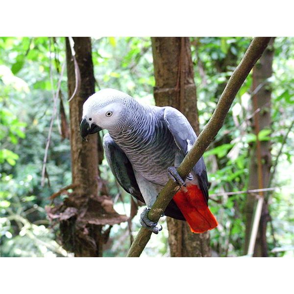 African Grey in Tree