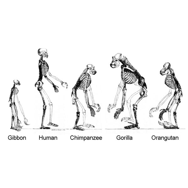 Hominoids from Wikipedia