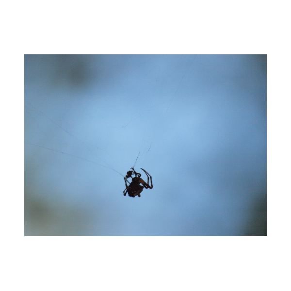 A triangulate orb weaver- underexposed