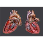 Heart - image released under  Creative Commons Attribution ShareAlike 2.5