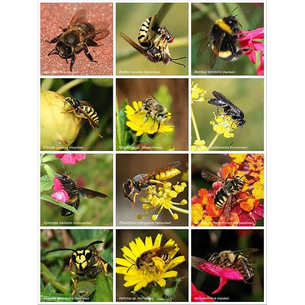 451px-Bees and Wasps
