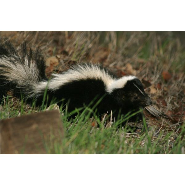 Skunks. Image By: Ks42day/morguefile
