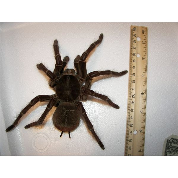 Male goliath birdeater spider: Arachnophobia is the fear of spiders