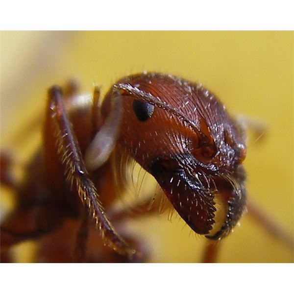 Ant - Image Copyright: Steve Jurvetson / https://www.flickr.com/photos/jurvetson/70704300
