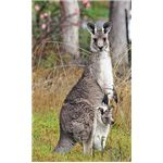 Eastern grey kangaroo with a joey in her pouch.