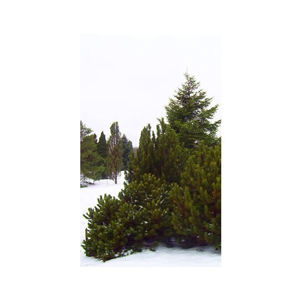 Evergreens in the dead of winter