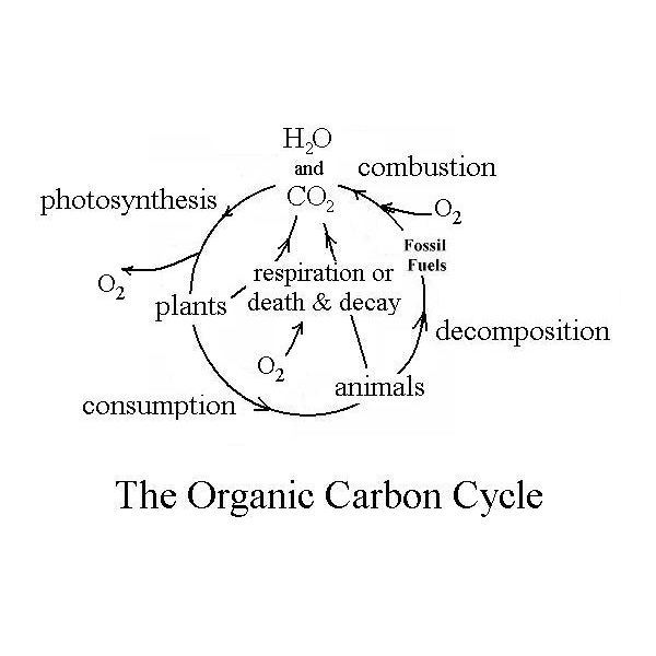 Biochemical Oxygen Demand as Explained by the Organic Carbon Cycle