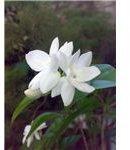 450px-Jasminum sambac
