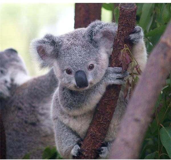 654px-Cutest Koala