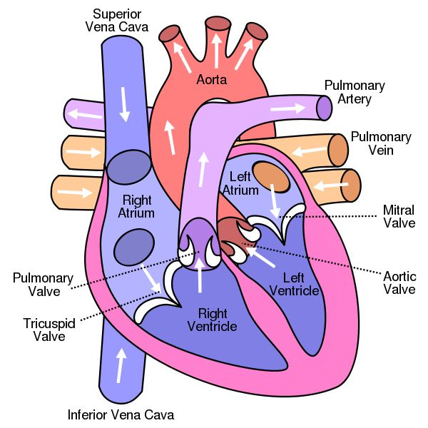 Heart Valve Defects: A Basic Comparison of Valvular Heart Diseases