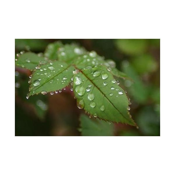 water droplets on rose leaf