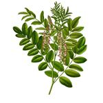 Herbs for Asthma Relief - Licorice (image in the public domain)