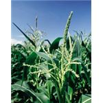 GM corn can be made to fight off egg-laying bugs.