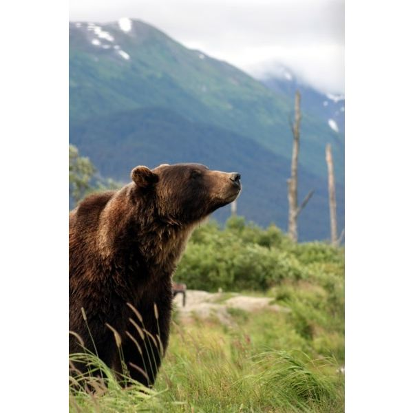 Grizzly Bear in Anchorage Alaska