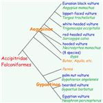 Old World vultures phylogenetic tree